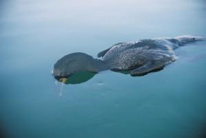 dead cormorant in water2